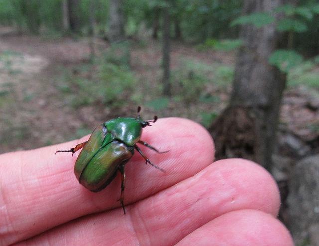 Green June Bug_8709