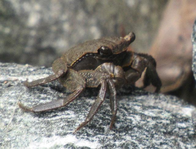 Marsh Crab_8663