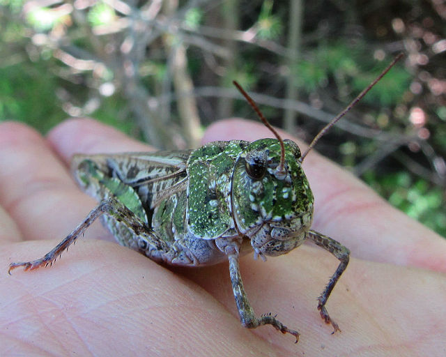 Orange-winged Grasshopper_8519