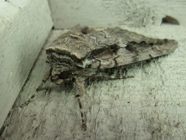 Sweetheart Underwing Moth_8029