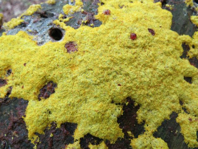 Yellow Fungi_8898