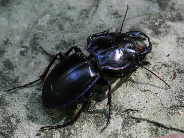 Blue-margined Ground Beetle_1439