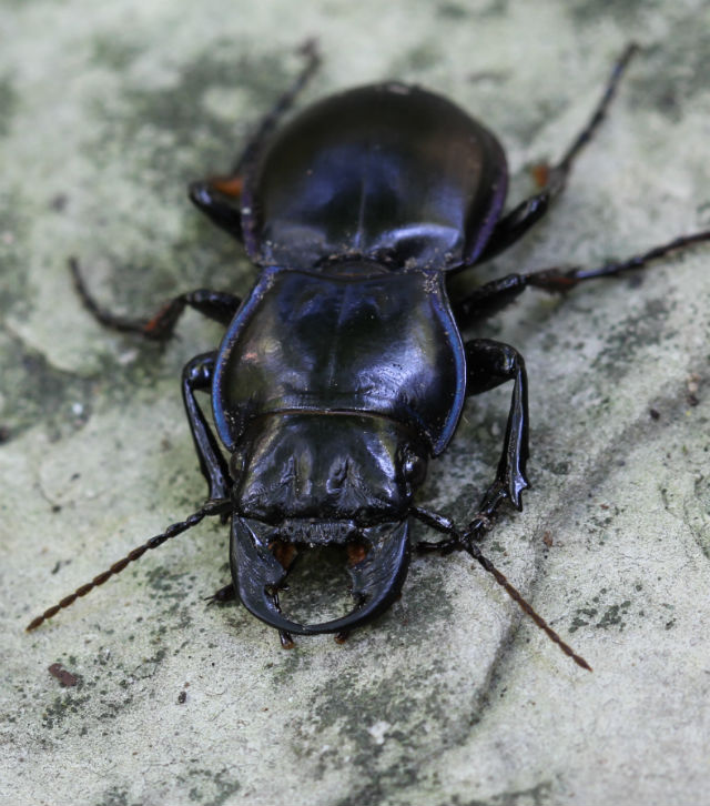 Blue-margined Ground Beetle_1445