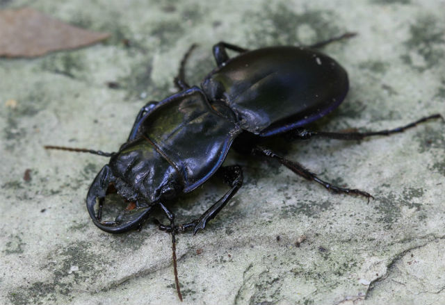 Blue-margined Ground Beetle_1450