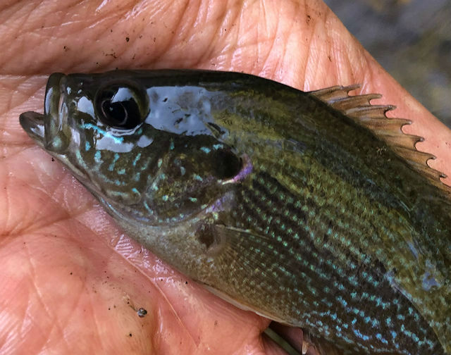 Green Sunfish_2809