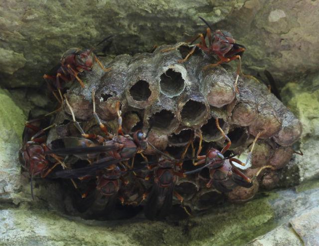Paper Wasp_10_08sr 153