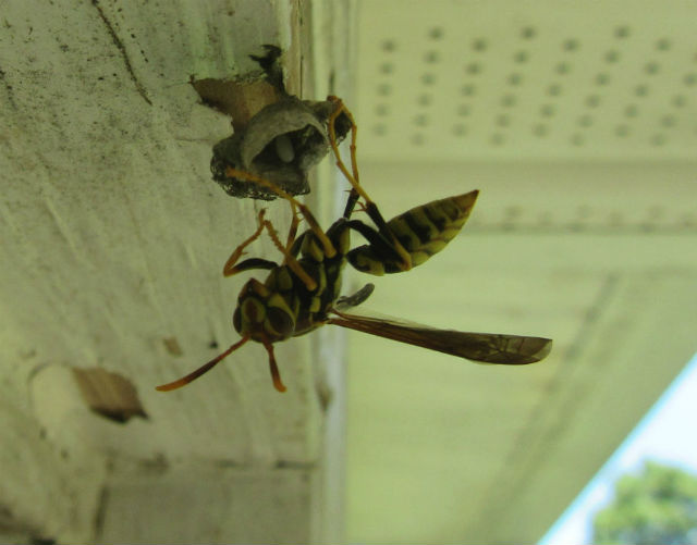 Paper Wasp_8336