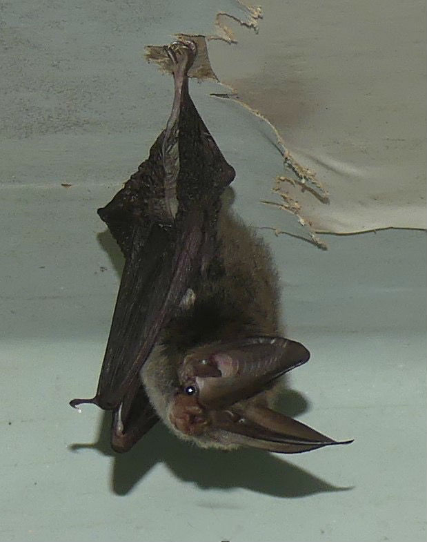 Rafinesques Big-eared Bat_2776