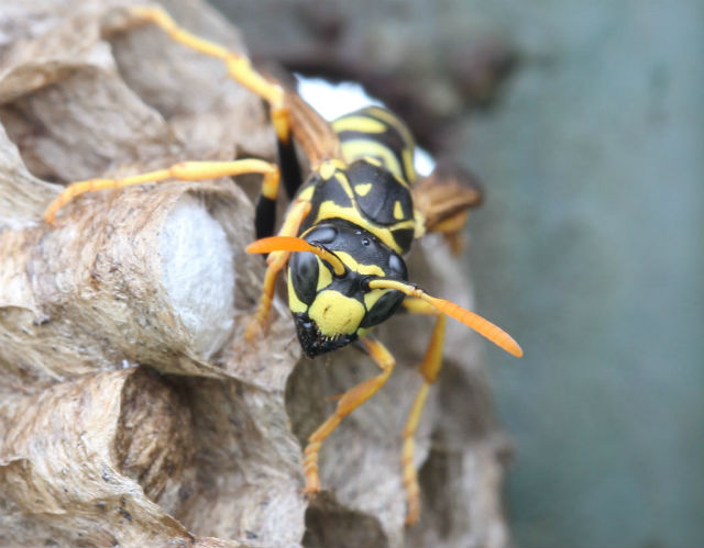 paper wasp_0540