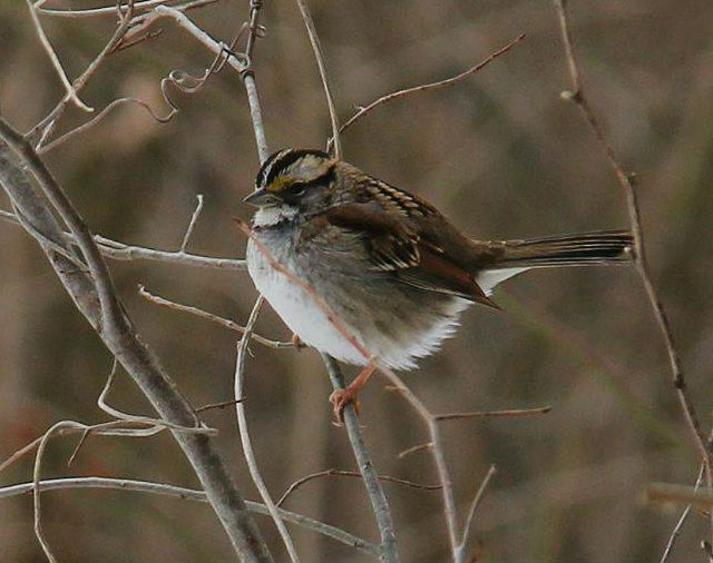 White-Throated Sparrow 3-21-2014