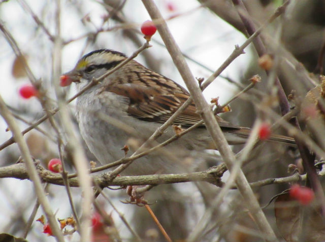 White-Throated Sparrow _2545