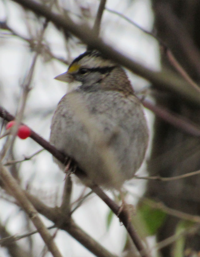 White-Throated Sparrow _2547