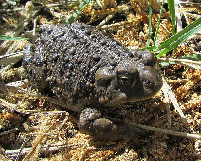 Amargosa Toad_0889
