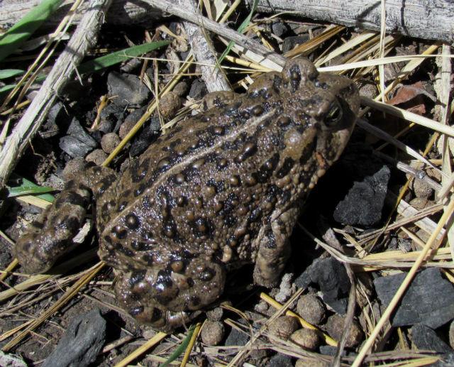 Amargosa Toad_0917