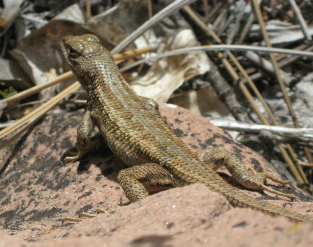 Sagebrush Lizard 041