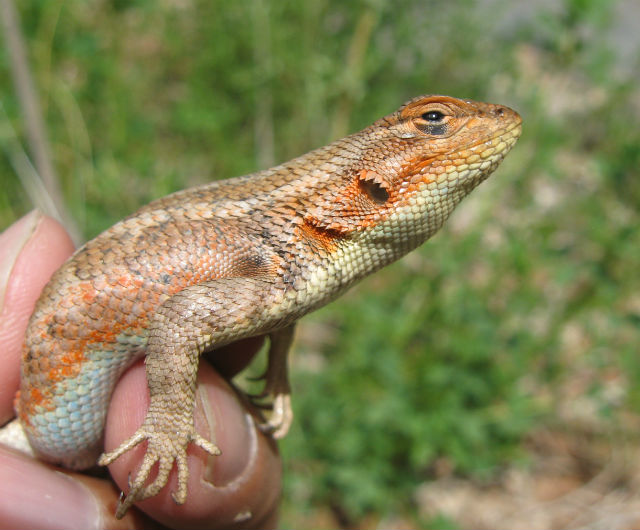 Sagebrush Lizard 044