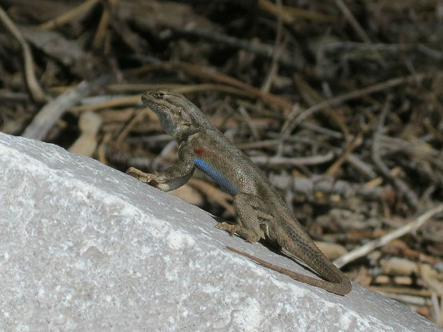 Sagebrush Lizard_4778