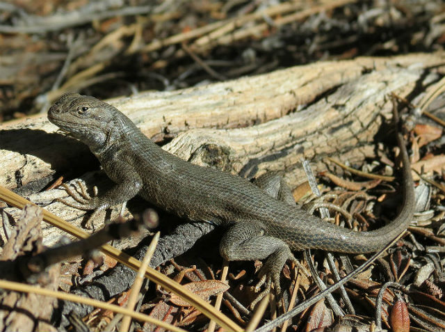 Sagebrush Lizard_4794