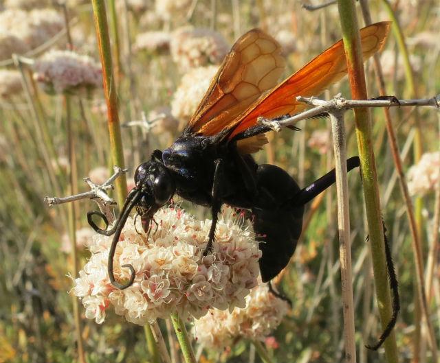 Tarantula Hawk_1426
