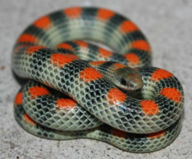 Western Ground Snake 1