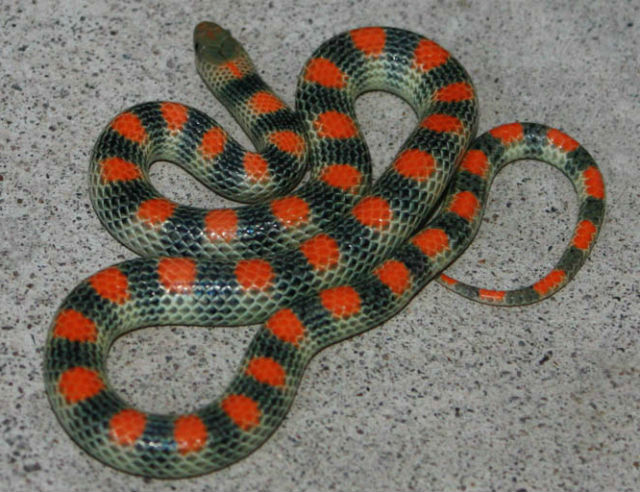 Western Ground Snake 2
