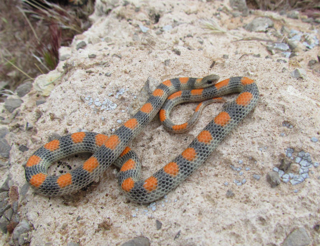 Western Ground Snake_1099