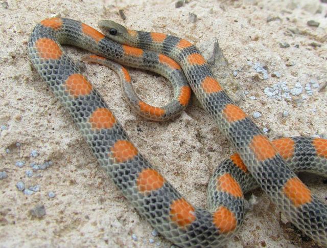 Western Ground Snake_1100