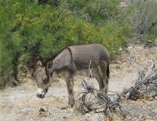 Wild Burro 256