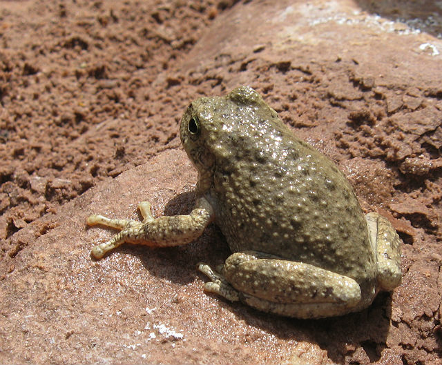 Canyon Treefrog 053