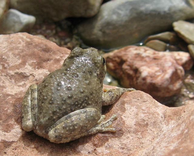 Canyon Treefrog 055