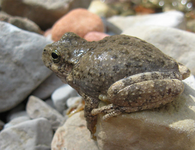 Canyon Treefrog 061