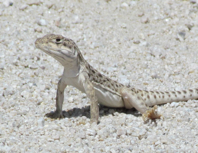 Long-nosed Leopard Lizard_0612