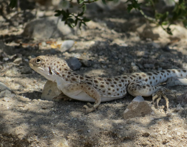 Long-nosed Leopard Lizard_2802