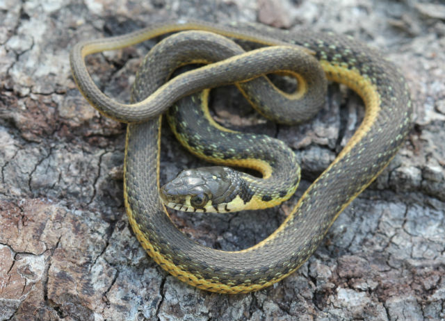 Two-striped Garter Snake_9852