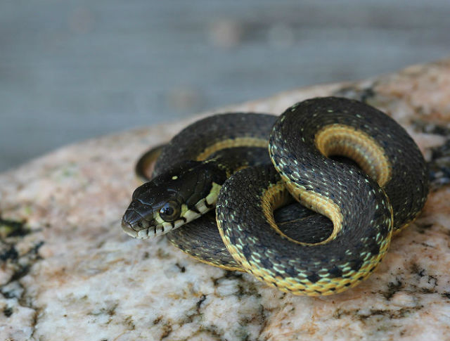 Two-striped Garter Snake_9923