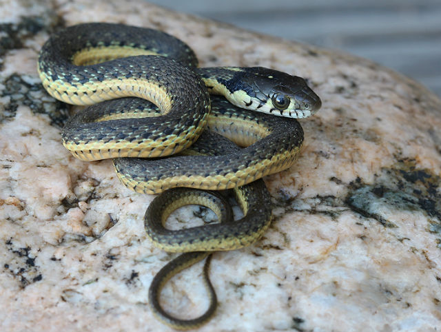 Two-striped Garter Snake_9931