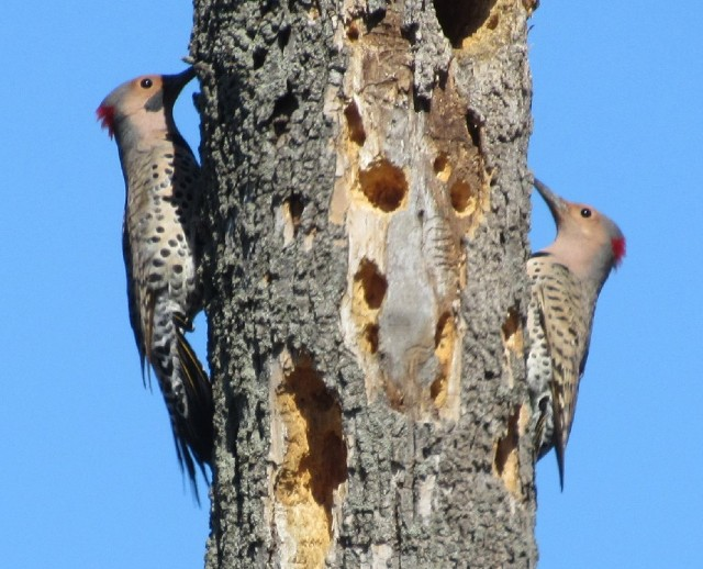 04 Northern Flickers_4231