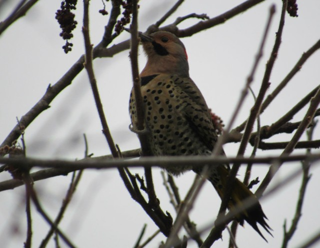 05 Northern Flicker_2183