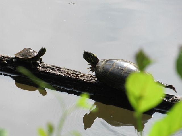 2 Eastern Painted Turtle_5446