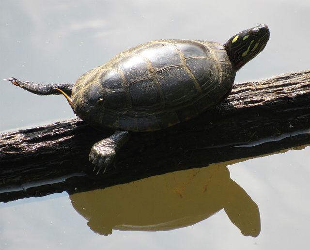 4 Eastern Painted Turtle_5455