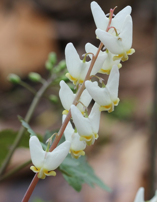 04 Dutchman's Breeches_2180