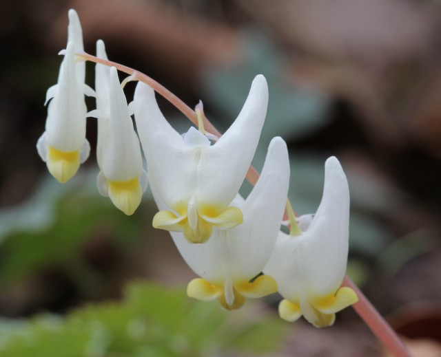 07 Dutchman's Breeches_2191
