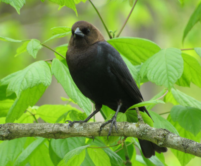 02 Brown-headed Cowbird__7199