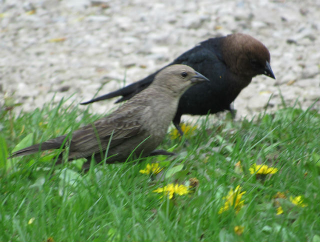 03 Brown-headed Cowbird_6914