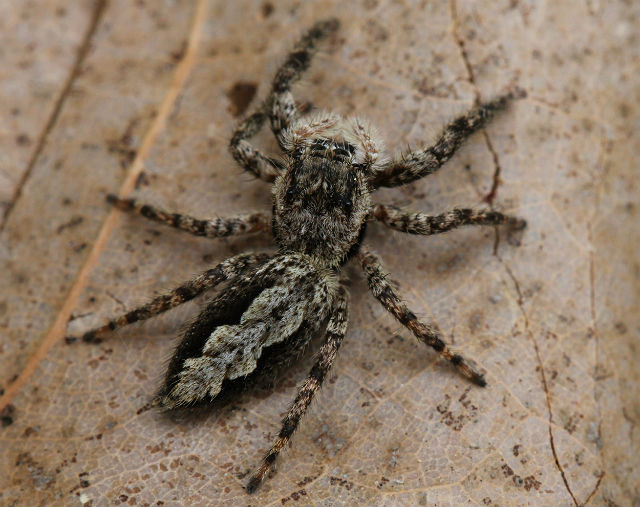 03 jumping spider 053