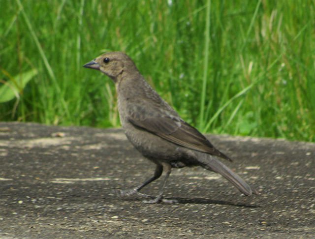 04 Brown-headed Cowbird_7184