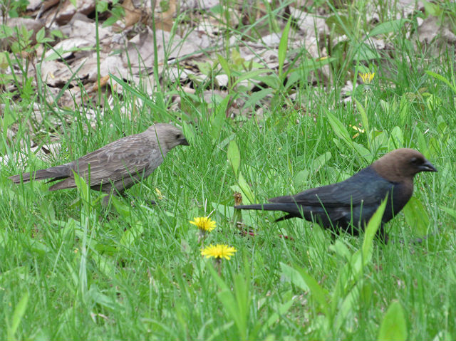 05 Brown-headed Cowbird_6920