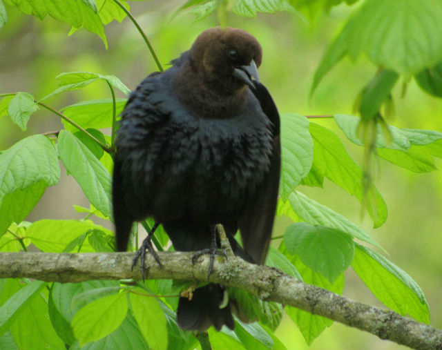 06 Brown-headed Cowbird_7200