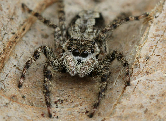 jumping spider 052