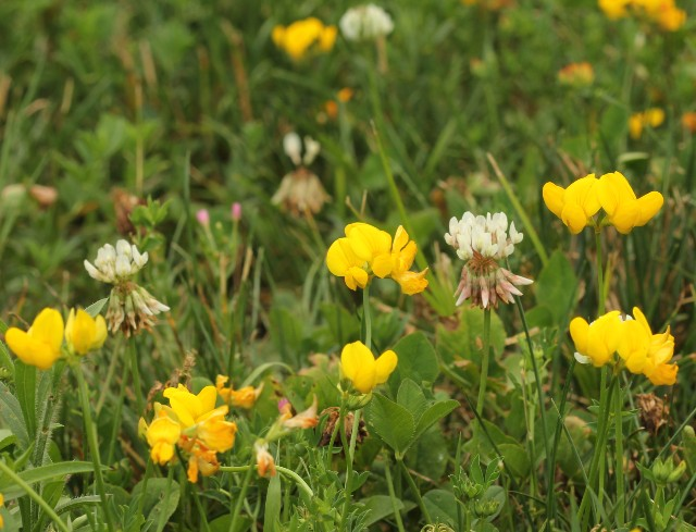 Birds-foot Trefoil_2857